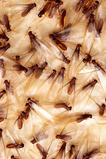 termite5