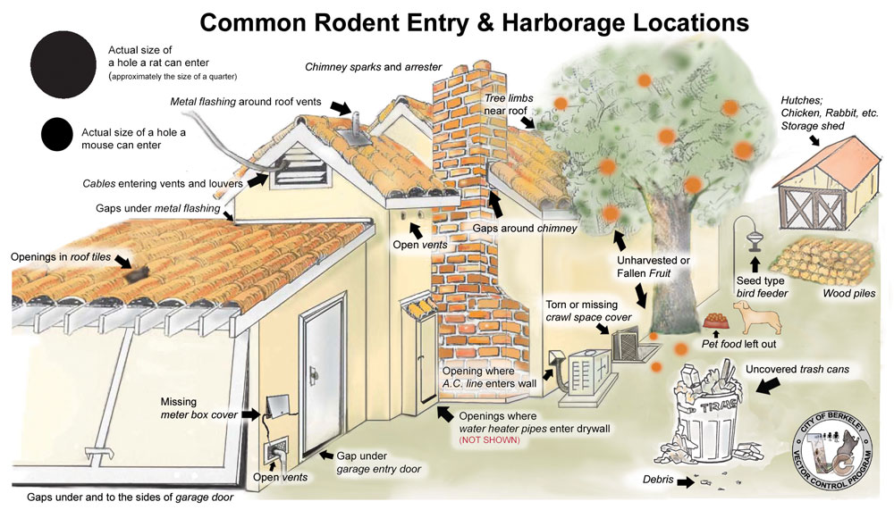 Common-Rat-Entry-and-Harbor